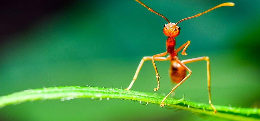 Macrophotographie de fourmis rouges