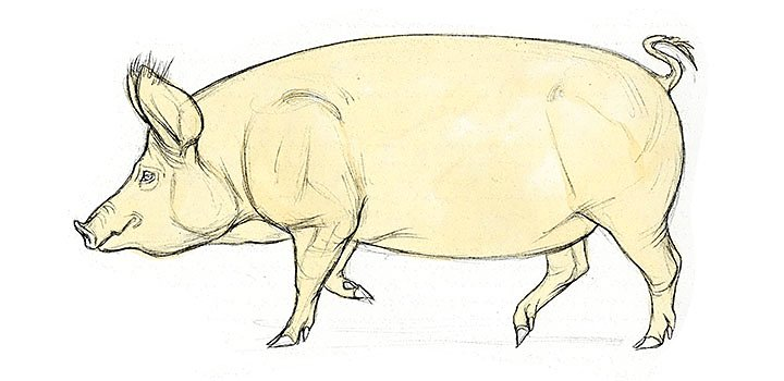 How To Draw A Pig Step By Step Adobe